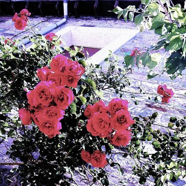Photograph - Spanish Roses by HweeYen Ong