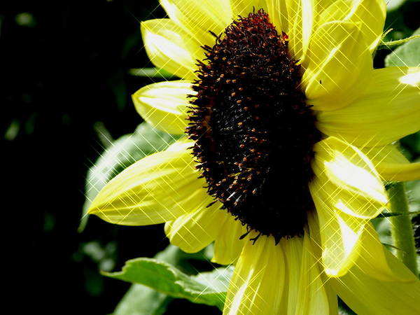 Photograph - Sparkle Sunflower by Perggals - Stacey Turner