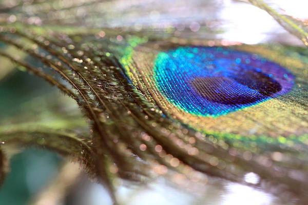 Photograph - Sparkles On A Feather by Angela Murdock