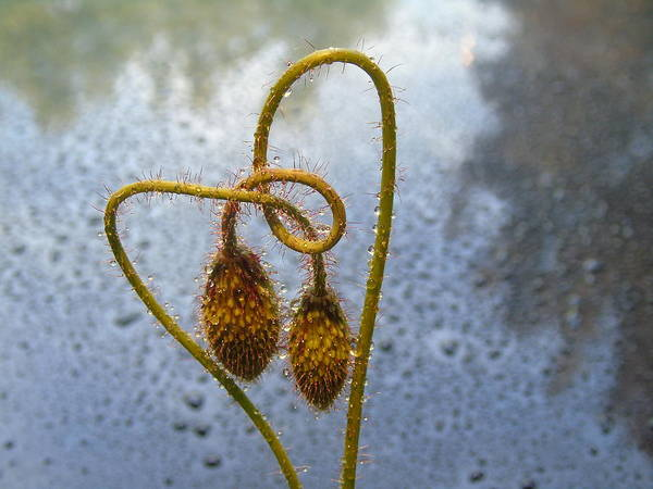 Photograph - Sparkling Knotted Poppy Pod by Barbara St Jean