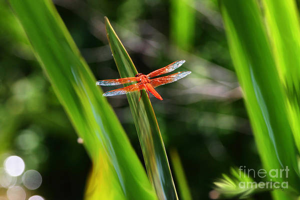 Sparkling Red Dragonfly Art Print