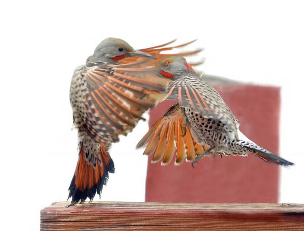 Photograph - Sparring Flickers by Judi Dressler