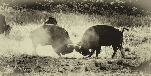 Photograph - Sparring Partners - American Bison by TL Mair