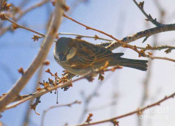 Photograph - Sparrow And Branch by Donna L Munro