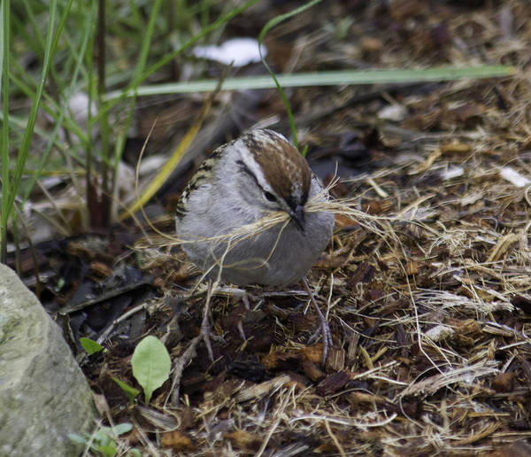 Photograph - Sparrow Close Up by Donna L Munro