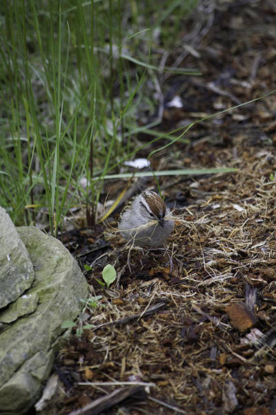 Photograph - Sparrow Gathering Nest Material by Donna L Munro