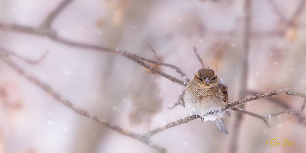 Photograph - Sparrow In The Cold by Rikk Flohr