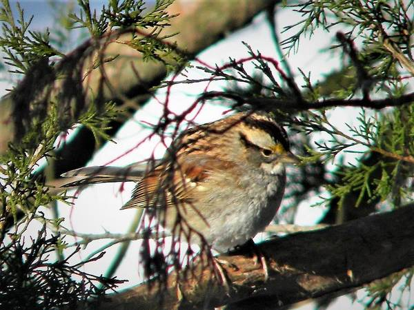 Photograph - Sparrow In The Snow by Ken Bradford