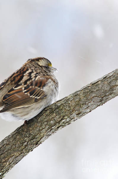 White-throated Sparrow Photograph - Sparrow In Winter by Thomas R Fletcher