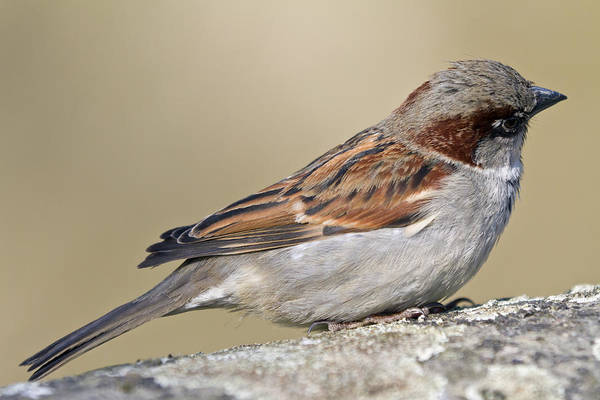 Wing Back Wall Art - Photograph - Sparrow by Melanie Viola