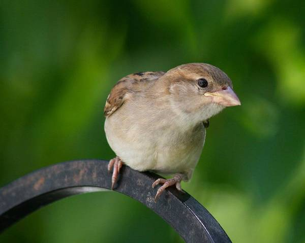 Photograph - Sparrow On Our Bird Feeder by Polly Castor