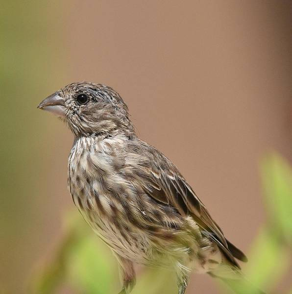 Tweets Photograph - Sparrow Portrait by Linda Brody