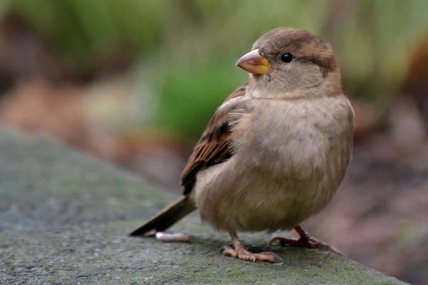 House Sparrow Photograph - Sparrow by Sandi Kroll