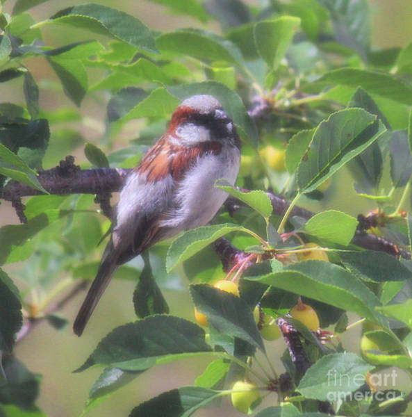 Photograph - Sparrow Singer Bird by Donna L Munro