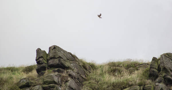 Peak District National Park Photograph - Sparrowhawk Hunting by Martin Newman