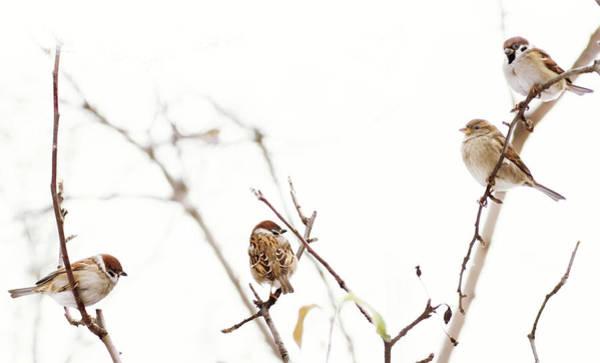 Craw Wall Art - Photograph - Sparrows At The Meeting   Waiting For Spring by Irina Safonova
