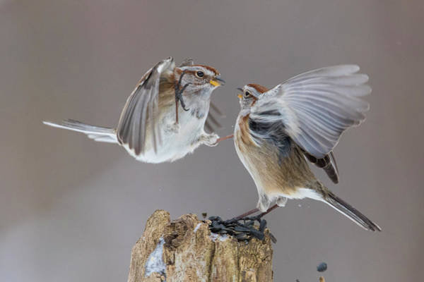 Wall Art - Photograph - Sparrows Fight by Mircea Costina Photography