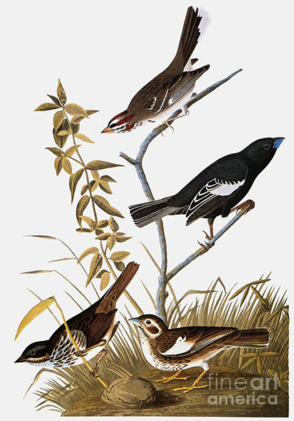 Painting - Sparrows by John James Audubon