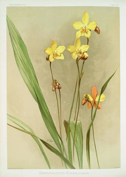 Wall Art - Photograph - Spathoglottis Kimballiana by Ricky Barnard