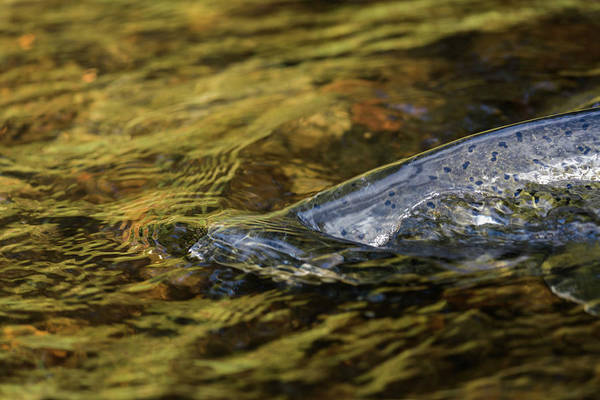 Photograph - Spawning Chinook by Robert Potts