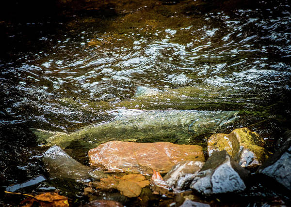 Photograph - Spawning Salmon by Robert Potts