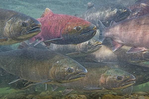 Chinook Salmon Photograph - Spawning Season- Abstract by Tim Grams