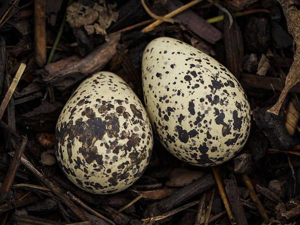 Killdeer Photograph - Speckled Killdeer Eggs By Jean Noren by Jean Noren