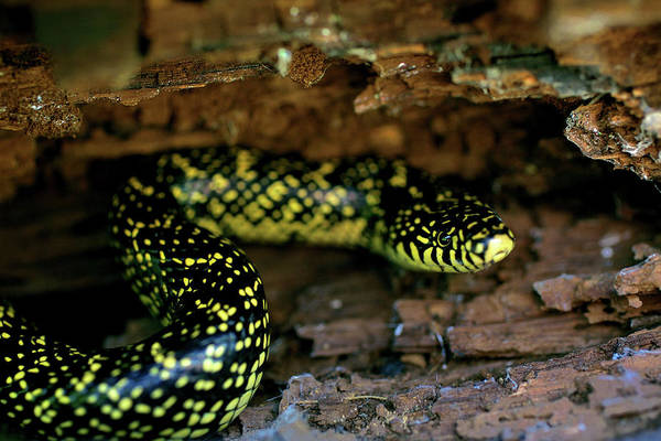 Photograph - Speckled Kingsnake by JC Findley