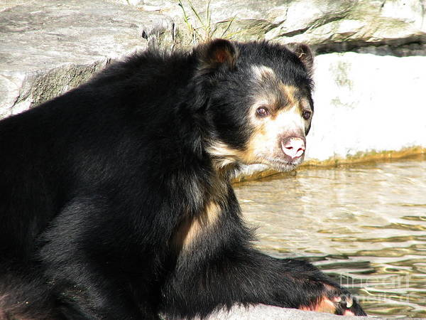 Photograph - Spectacled Bear Portrait by Rose Santuci-Sofranko