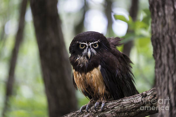 Photograph - Spectacled Owl by Andrea Silies