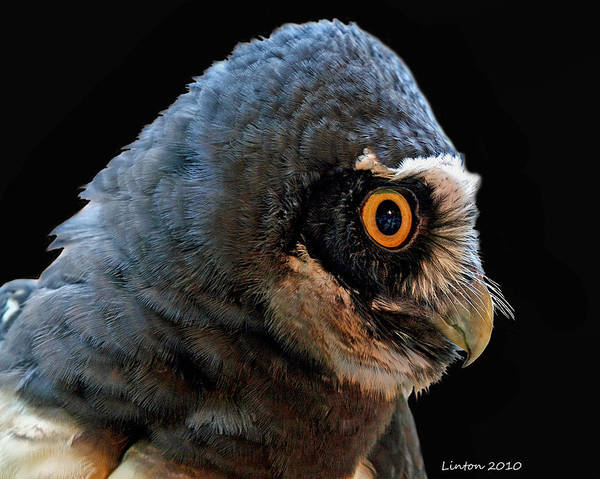 Photograph - Spectacled Owl by Larry Linton