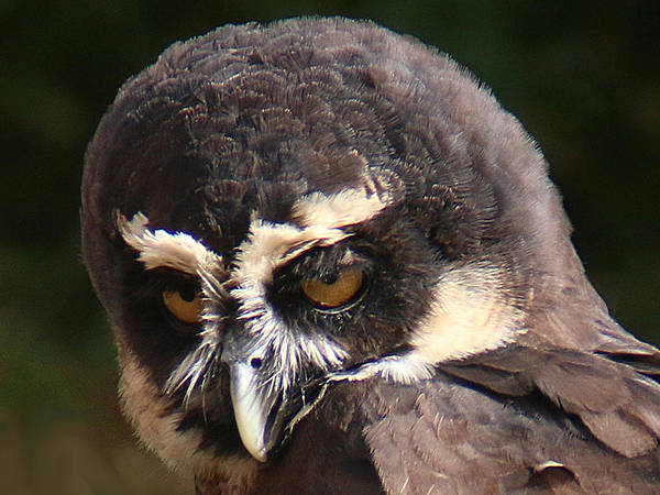 Photograph - Spectacled Owl Portrait 2 by William Selander