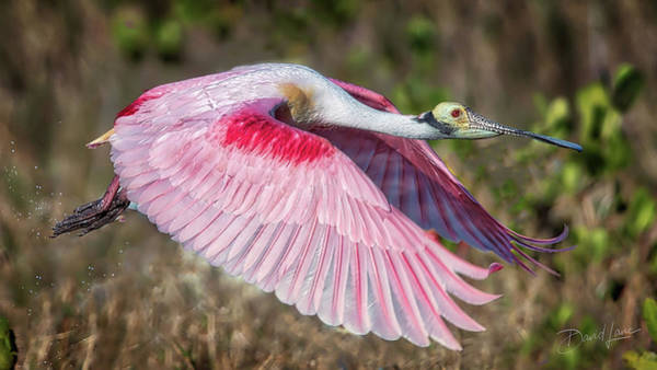 Photograph - Spoonbill Winging It by David A Lane