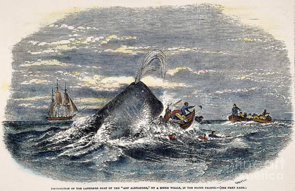 1851 Photograph - Sperm Whale Attack, 1851 by Granger