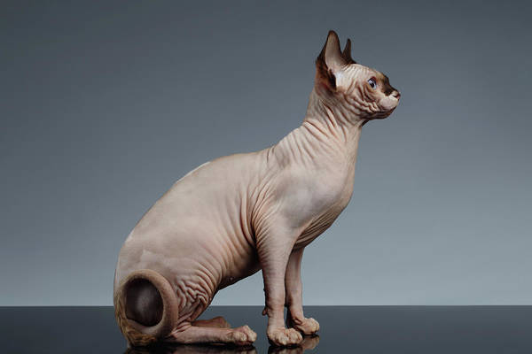 Cat Photograph - Sphynx Cat Sits And Looking Forward On Black  by Sergey Taran