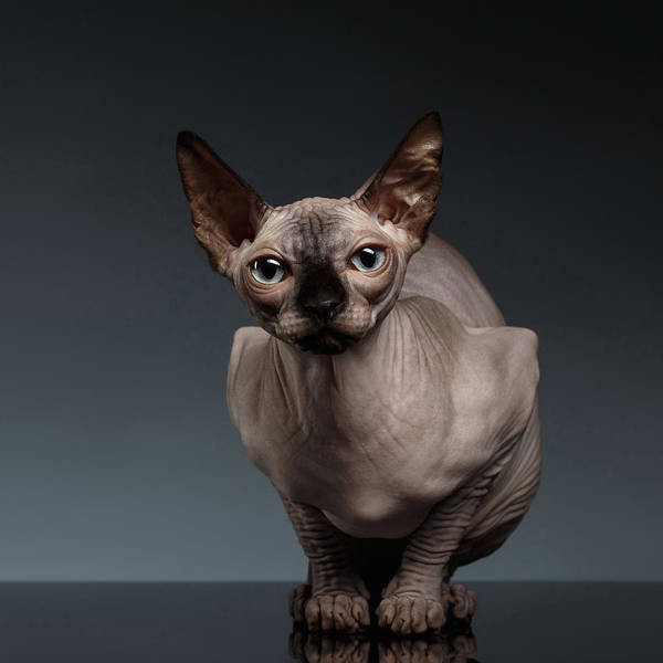 Cat Photograph - Sphynx Cat Sits In Front View On Black  by Sergey Taran