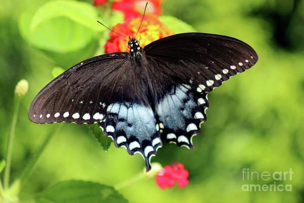 Photograph - Spicebush Swallowtail Butterfly On Lantana by Karen Adams