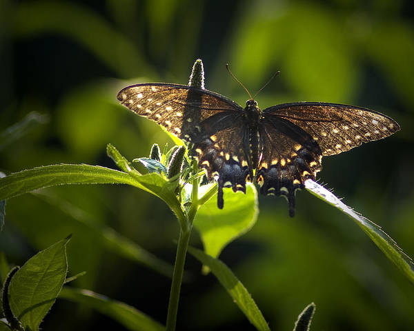 Photograph - Spicebush Swallowtail I by Wade Clark