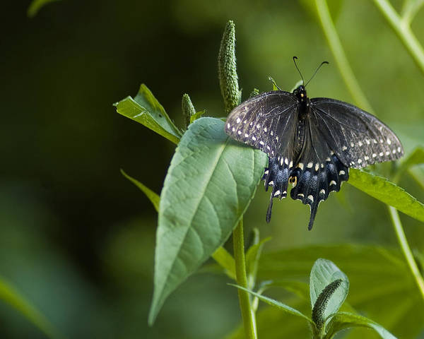 Photograph - Spicebush Swallowtail II by Wade Clark