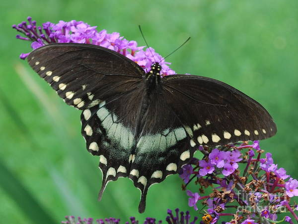Photograph - Spicebush Swallowtail by Randy Bodkins