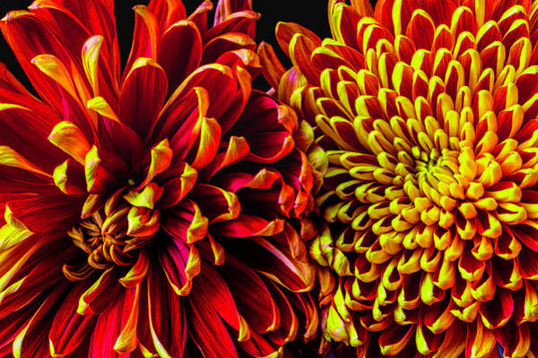 Wall Art - Photograph - Spider And Football Mums by Garry Gay