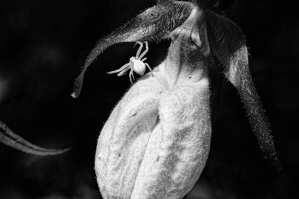 Wall Art - Photograph - Spider And Ladyslipper by Susan Capuano