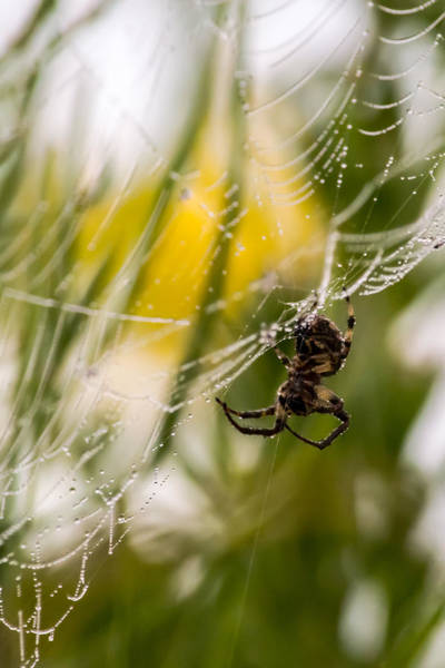 Spider And Spider Web With Dew Drops 04 Art Print