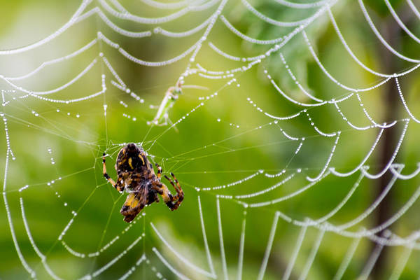 Spider And Spider Web With Dew Drops 05 Art Print