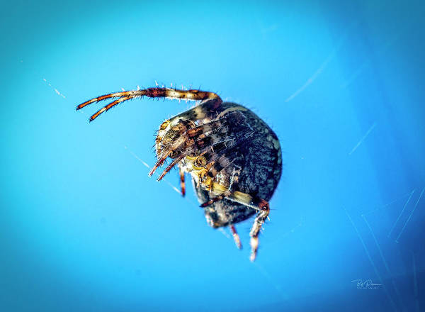Photograph - Spider Blue by Bill Posner
