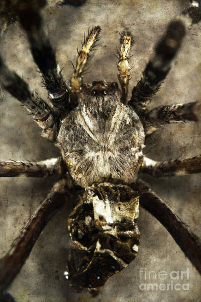 Photograph - Spider by Clayton Bastiani