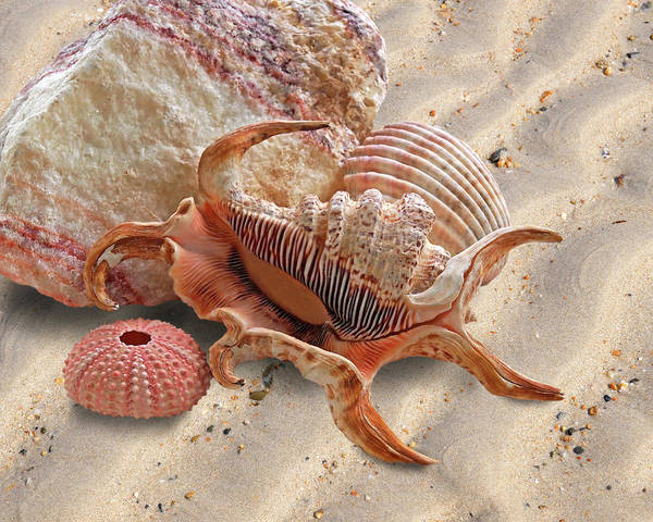 Spider Rock Photograph - Spider Conch Shell On The Beach by Gill Billington