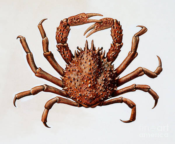 Restaurant Decor Drawing - Spider Crab Or Spinous Spider Crab by English School