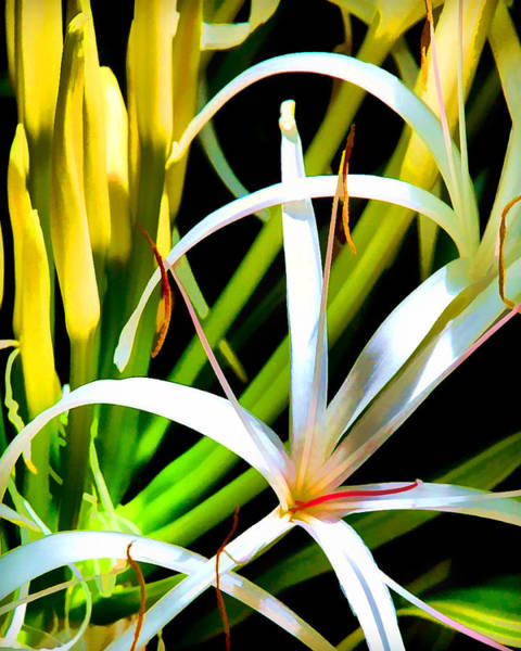 Digital Art - White Spider Lily by Ginger Wakem