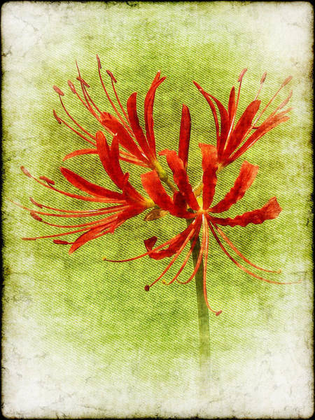 Surprise Lily Photograph - Spider Lily by Judi Bagwell